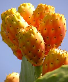 opuntia (prickly pear cactus) fruit, photo by jenvanw