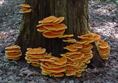 Laetiporus sulphureus is a species of bracket fungus (fungus that grows on trees) found in Europe and North America. Its common names are sulphur polypore, sulphur shelf, and chicken of the woods. The photo is from David Work