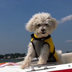 Happy Boating Bichon