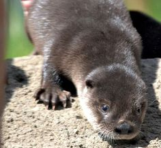 Potter Park Zoo's River Otter Pup Raised With Orphans as Sibling Trio, wonderful story on ZooBorns. Otter Pup, River Otter, Cute Funny Animals, Otters, Sibling, Backyard, Babies, Park, Books