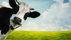 cow farts???   UH OH….how long until they REALIZE that HUMANS fart…..and there are BILLIONS of us…………..holy FART…..