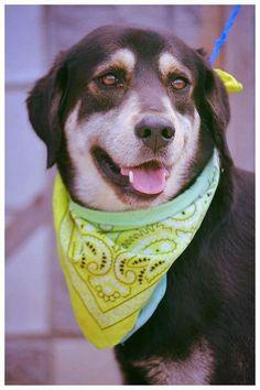 Blue - German Shepherd Dog/ Labrador Retriever mix - 1 yr old - Male - For Dog's Sake - Manchester, NH. - http://www.fordogssakerescue.org/ - https://www.facebook.com/For-Dogs-Sake-Rescue-Group-163398367055148/ - http://www.adoptapet.com/pet/15497759-manchester-new-hampshire-german-shepherd-dog-mix - https://www.petfinder.com/petdetail/35075562