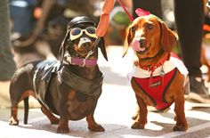 Dachshunds: doing life right. | 17 Incredible Pictures Of Costumed Sausage Dogs Racing Each Other