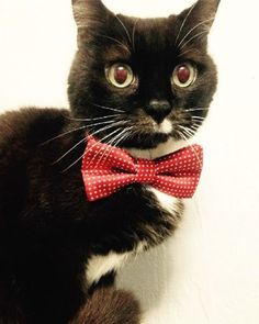 Poor Mickey lost his owner two months ago. He was recently adopted, but not given sufficient time to adjust and given back to us. He is grieving and needs someone willing to give him the time and attention needed. He is extremely sweet and snuggly, about 13 years old and front-declawed.  #adoptasenior #adopt #bowtie #catsofinstagram #rescue #foster #cat