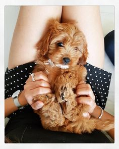Cavapoos are a result of breeding a Cavalier King Charles Spaniel with a poodle. Also known as a Cavoodle, the poodle part of the crossbreed is usually a Miniature Poodle. If you're lucky, this… Cute Dogs And Puppies, Baby Dogs, Doggies, Puppies Tips, Fluffy Puppies, Cutest Dogs, Adorable Puppies, Small Puppies, Pet Dogs