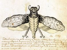 Death's-head Hawk moth, or Acherontia atropos, as pictured in Joachim Daniel Jauch's notebook in 1754. The swarm of moths like this attacked the Polish town of Kalisz that year. Apparently, the author did not see the actual bug, because he painted the death-had on its front side instead of the back. Also human-like smiling face does not really match here... is it a cryptic Jauch's self-portrait or was he simply doodling in his notebook?