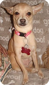 Providence, RI - Chihuahua. Meet Chico CJ, a dog for adoption. http://www.adoptapet.com/pet/11564732-providence-rhode-island-chihuahua