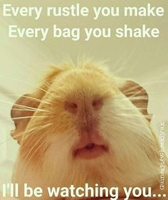 """Every rustle you make, every bag you shake, I'll be watching you."" this defines a Guinea Pig to a T. Animals And Pets, Baby Animals, Funny Animals, Cute Animals, Pet Guinea Pigs, Guinea Pig Care, Hamsters, Rodents, Guniea Pig"