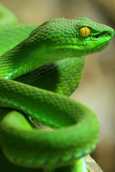 Pit Viper hopefully it's in a glass room at the zoo .sure is beautiful tho ib Nature Animals, Animals And Pets, Cute Animals, Nocturnal Animals, Jungle Animals, Wild Animals, Farm Animals, Les Reptiles, Reptiles And Amphibians
