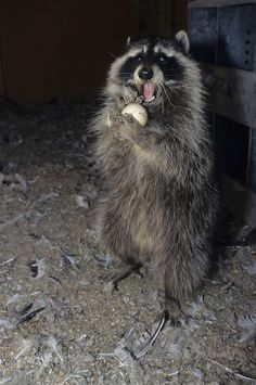 Raccoon (Procyon lotor) raiding chicken eggs in a chicken coop in Montana. Captive Animal
