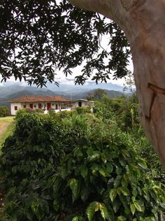 This kind of farms are the identity of the Colombian cities which grow coffee.