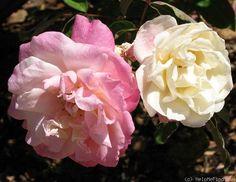 'Marie van Houtte' Rose Photo