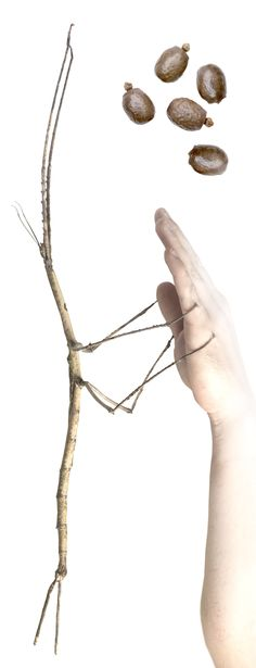 Ctenomorpha gargantua. A stick insect from Northen Australia, C. gargantua is one of the largest insects in the world. Adult female, eggs.
