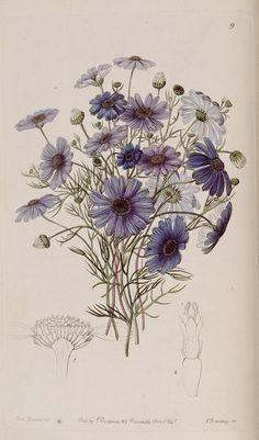 Brachycome iberidifolia Cass. Swan river daisy. Edwards's botanical register. London: James Ridgway,1829-1847
