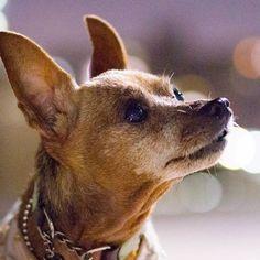 お顔もだいぶ白くなりました🙆お髭カット✂行こうね😅 #ミニピン #ミニチュアピンシャー #犬  #愛犬 #minipin #miniaturepinscher #petdog #minpin #chiens