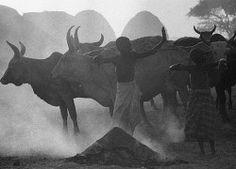 Cows in Smoke Mirella Ricciardi