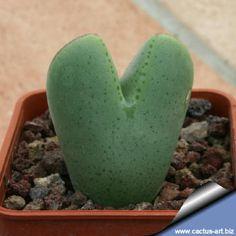 Conophytum meyerae - Heart shaped cactus!