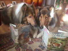 Smooth Collie, Rough Collie, The Perfect Dog, Corgi, Animals, Corgis, Animales, Animaux, Animal
