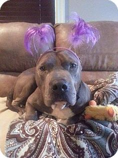 Lake Charles, LA - Pit Bull Terrier Mix. Meet Buttercup, a dog for adoption. http://www.adoptapet.com/pet/11700424-lake-charles-louisiana-pit-bull-terrier-mix