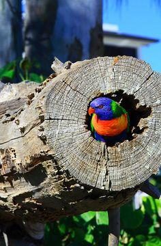 Photo by John Hodgkin - Rainbow Lorikeet - Shelly Beach, Hervey Bay, Queensland, Australia. Kinds Of Birds, Love Birds, Beautiful Birds, Australian Parrots, Queensland Australia, Western Australia, Little Birds, Colorful Birds, Parakeet