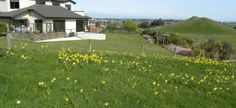 Daffodils cover the hillside during spring at Wentworth Heights Bed & Breakfast, near Gore, Southland, New Zealand South Island, Daffodils, Bed And Breakfast, New Zealand, Dolores Park, Destinations, Spring, Cover, Travel