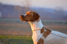 Photograph English Pointer by kacastefanovic on 500px
