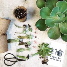 Compañía Botánica Propagating Succulents, Succulent Gardening, Succulents Garden, Planting Flowers, Trees To Plant, Plant Leaves, Inside Plants, Concrete Garden, Family Room Decorating