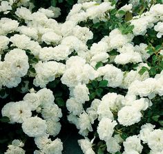 White Meidiland Groundcover Rose | white meidiland rosa meicoublan landscape shrub rose this low growing ...