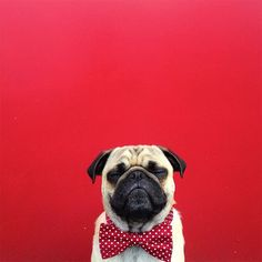 "Too cute not to share: ""Norm the pug"" is the new (lovely) Instagram star"