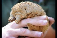critically endangered cousin the long beaked echidna of new guinea