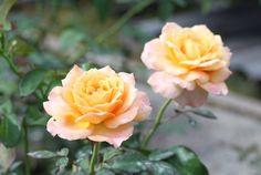 冬冬玫瑰網-商品詳情-喬治第戎