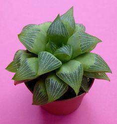 Haworthia retusa gigantea in 6,5 cm pot