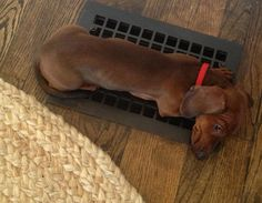 Doxies have a knack for finding the warmest spot in the house. This is so like Mister.