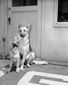 A German Shepherd puts a paternal paw over his son, 1948 : aww