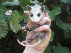 Baby Possum.Just as cute as a bug!!