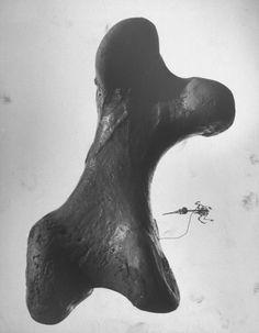 Andreas Feininger, hummingbird skeleton vs. elephant's femur, 1951 (Life magazine)