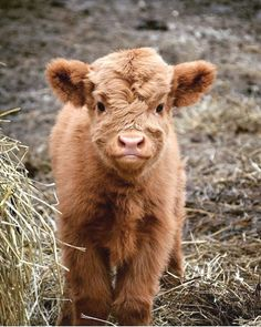 18 Adorable Cow Photos That Prove They Are Just Big Dogs - meowlogy Cute Baby Cow, Baby Cows, Cute Cows, Cute Babies, Baby Elephants, Fluffy Cows, Fluffy Animals, Animals And Pets, Wild Animals