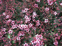 Seaside Plants : Leptospermum scoparium Nana Kiwi : Shrubs