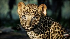 LeopardYou can find Animation and more on our website. 3d Assets, Unreal Engine, Game Art, Panther, Unity, Animation, Fantasy, Asset Store, Animals
