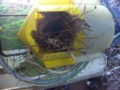 Bait bucket House Wren nest