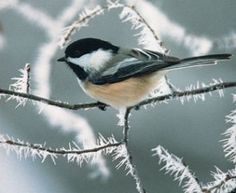 We have Chickadees year-round, and here's a neat photo of a Chickadee, as well as more tips for feeding wild birds in winter.
