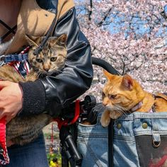 Cats Fuku-Chan and Daikichi find fame travelling around the world - Ego - AlterEgo Travel Around The World, Around The Worlds, Travelling, Japan, Cats, Photography, Gatos, Okinawa Japan, Photograph