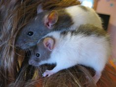 My pet rats love getting in my hair lol :D