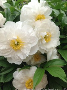 Cluster of peonies, www.purplepottingshed.com