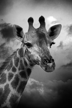 Giraffe - via Leigh Diprose-beautiful animal anf check out those lashes;)