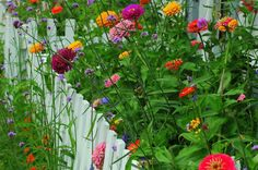 Zinnias and wildflowers... love this picture w/ the white picket fence.
