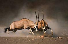 Gemsbok fight by Johan Swanepoel - Photo 68957761 - 500px