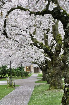 That blessed time of year when the cherry blossoms come out in full bloom at the University of Washington.