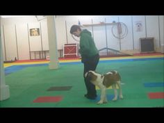 Clicker training loose leash walking