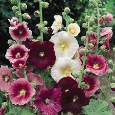 "INDIAN SPRING MIX  Hollyhock Seeds  Alcea rosea  View larger image    Large, single and semi-double flowers in shades of deep rose, pink, salmon-pink and white on 6-7 foot plants. Once known as ""Outhouse Hollyhocks"" because they were tall enough to screen what wasn't wished to be seen. Blooms the first year from midsummer through September."